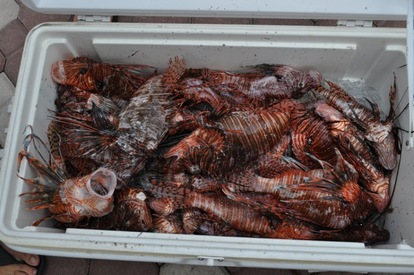 Lionfish collected from a Derby event