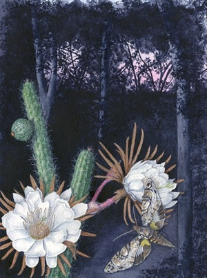 Simpson's Apple Cactus (Harrisia simpsonii): Watercolor by Kathleen Konicek-Moran