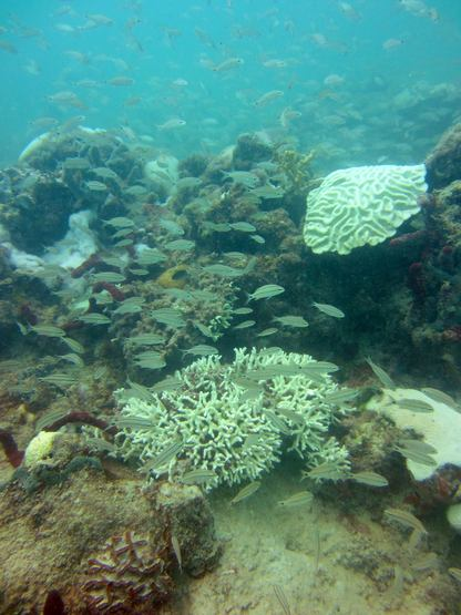 Mostly partial and upper surface bleaching at a mid-channel reef off Summerland Key