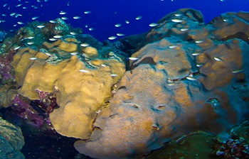 orbicella favolata coral listed as threatened