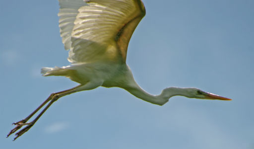 Great White Heron in Flight. Credit: FWS