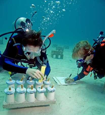 Volunteers check on the status of staghorn coral they're growing off Key Largo. REEF ENVIRONMENTAL CENTER