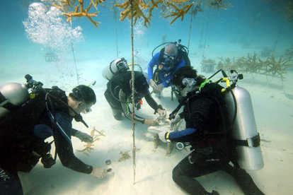 Coral Restoration Foundation volunteers plant coral specimens on Pickles Reef. Photo credit: Ken Nedimyer
