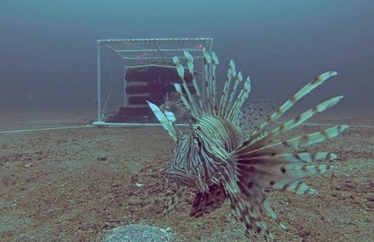 An invasive lionfish in front of a curtain-style trap off Pensacola, Florida. Photo: Steve Gittings/NOAA