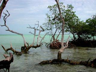 Mangroves in the Florida Keys