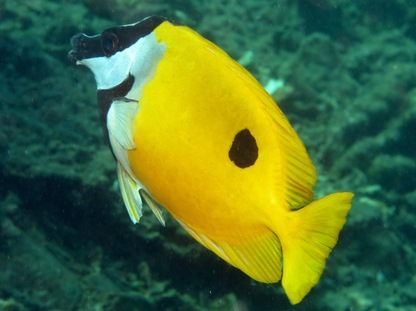 Onespot Rabbitfish. Photo by Florent Charpin
