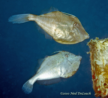 Courting Orange Filefish. Photo credit: Neal DeLoach (c)2010