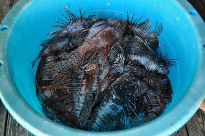 Lionfish removed at Key Largo Derby