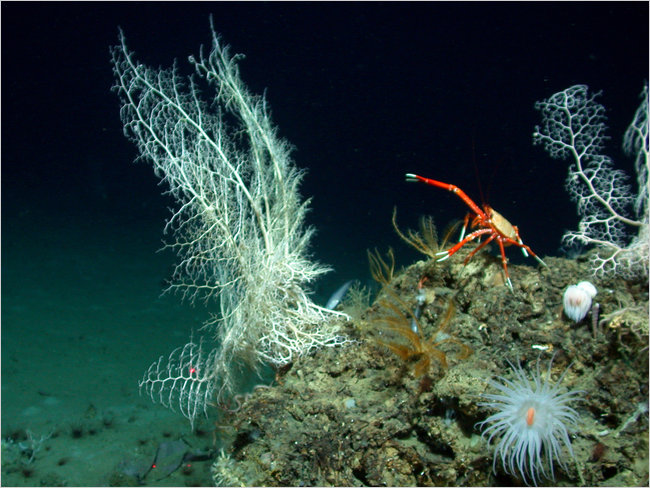 Deepwater Coral Reef in the Gulf