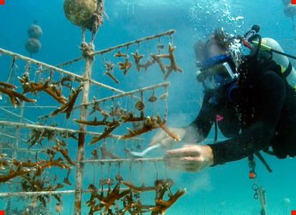 Ken Nedimyer S Underwater C Nursery