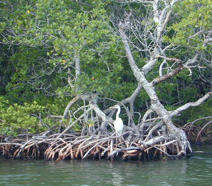 Mangroves in the Keys