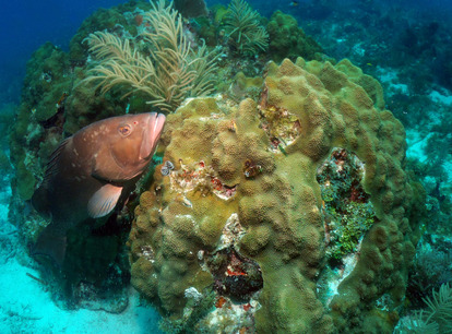 Red Grouper in Tortugas Ecological Reserve