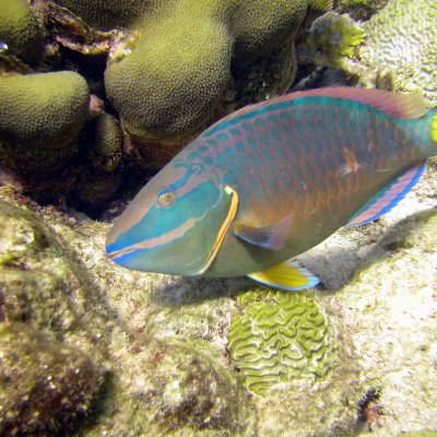 Parrotfish Key to Reef Survival