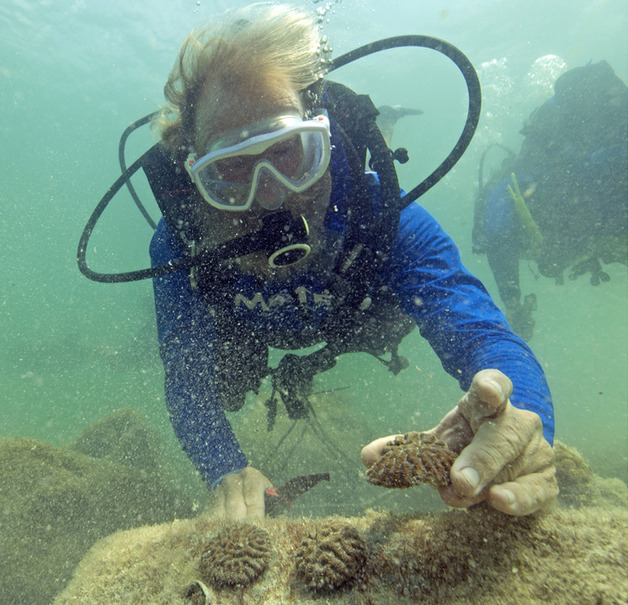 Dr. Dave Vaughan of Mote Marine Laboratory plants infant corals on the sea floor off Fort Zachary Taylor State Park in the Florida Keys National Marine Sanctuary. (Photo by Bob Care, Florida Keys News Bureau)