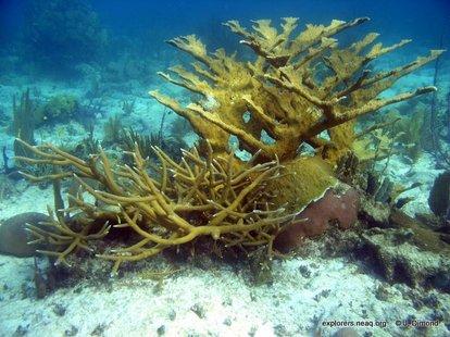 Staghorn & Elkhorn corals