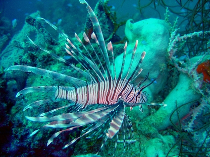 Lionfish (photo credit: NOAA)