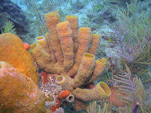 Florida Keys Marine Sponges