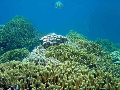 Staghorn Coral (Credit: NOAA)