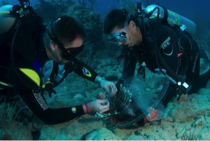 Two divers work together to tag a lionfish underwater. Credit: REEF