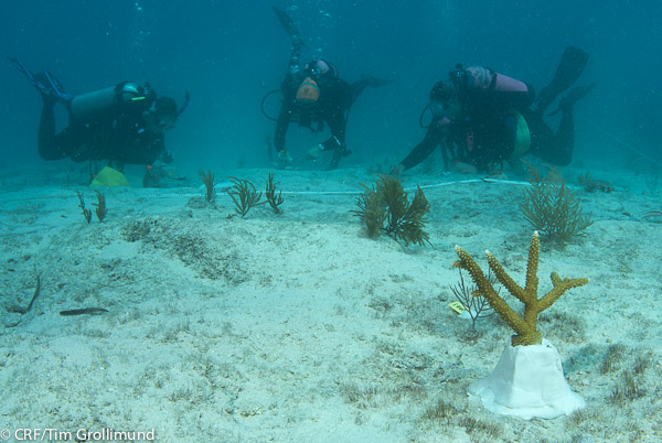 Coral Restoration at Davis Reef
