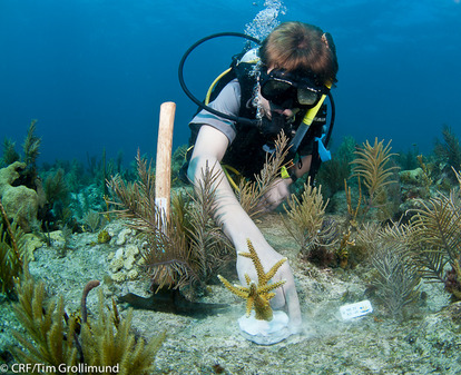 Outplanting Coral